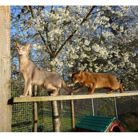 LA CHATTERIE DES ABYSSINS Saint-Gaudens, chatterie d'élevage de chats abyssins du vianey et somalis à Saint Gaudens.